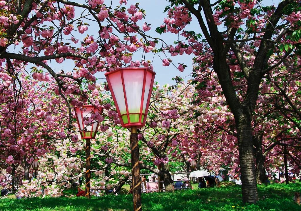 遅咲きの桜 八重桜が見応え十分の恒例行事