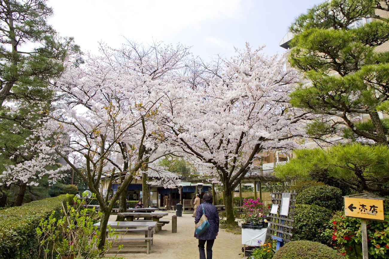縮景園 桜5