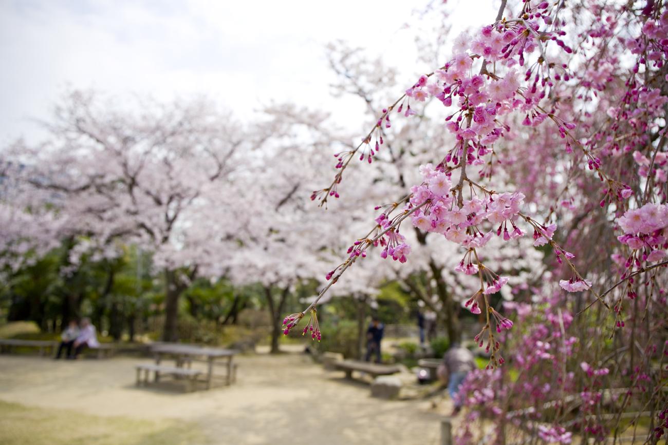 縮景園 桜2
