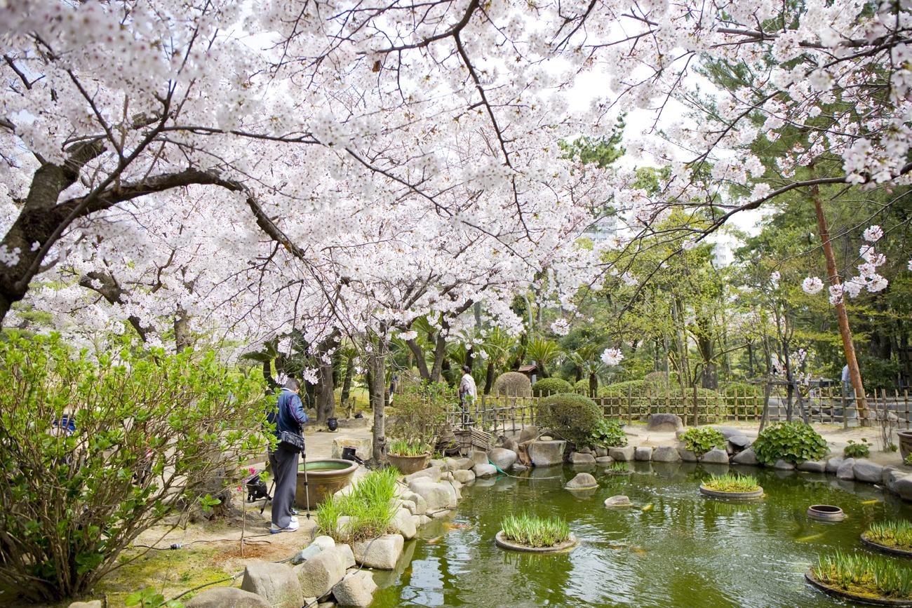 縮景園 桜4