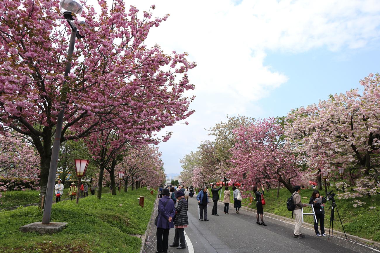 今年も八重桜が見事 「花のまわりみち」始まる