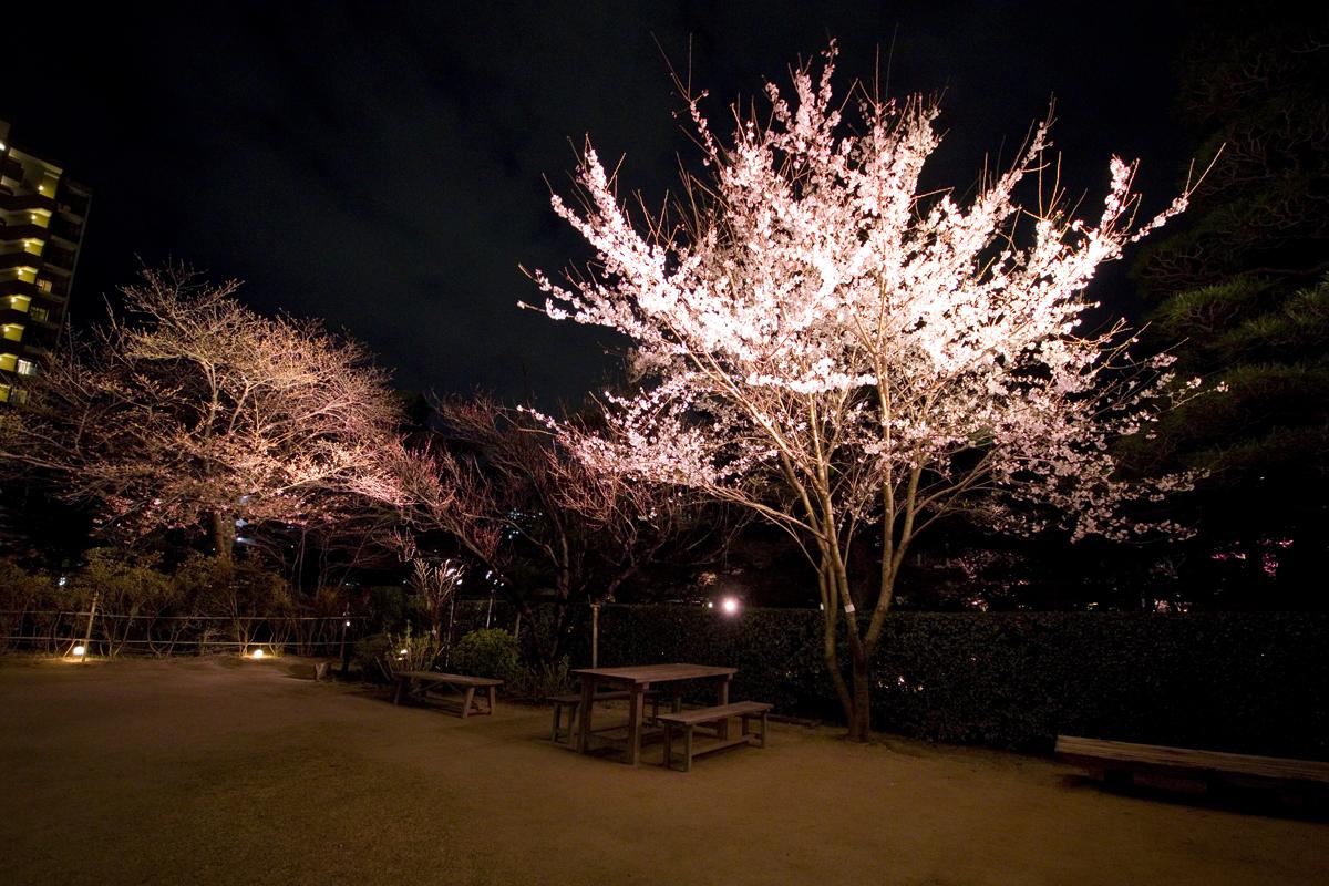 縮景園で夜桜特別開園が始まりました