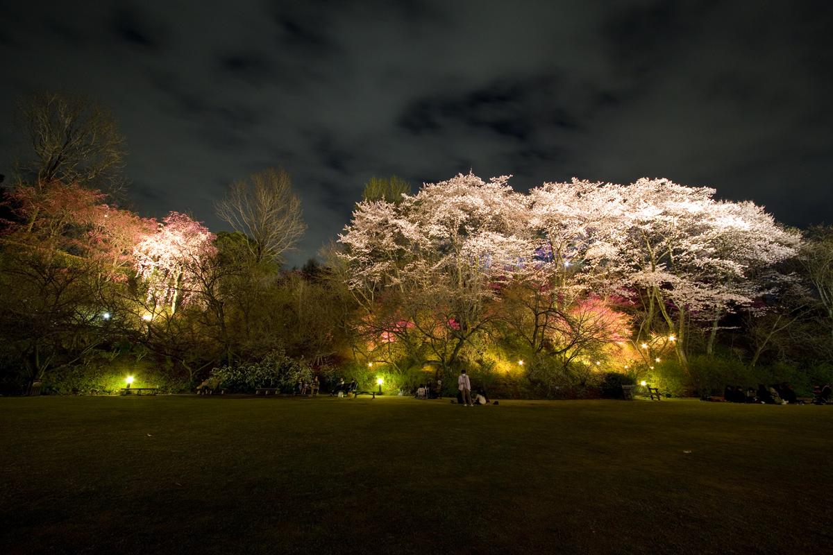 広島市植物公園の夜桜でお花見