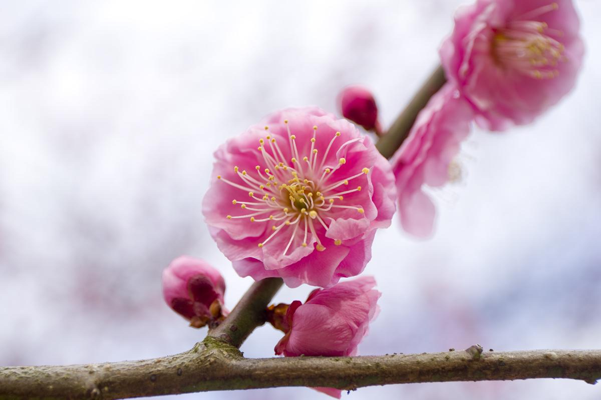 観光名所「縮景園」で梅の花が見頃