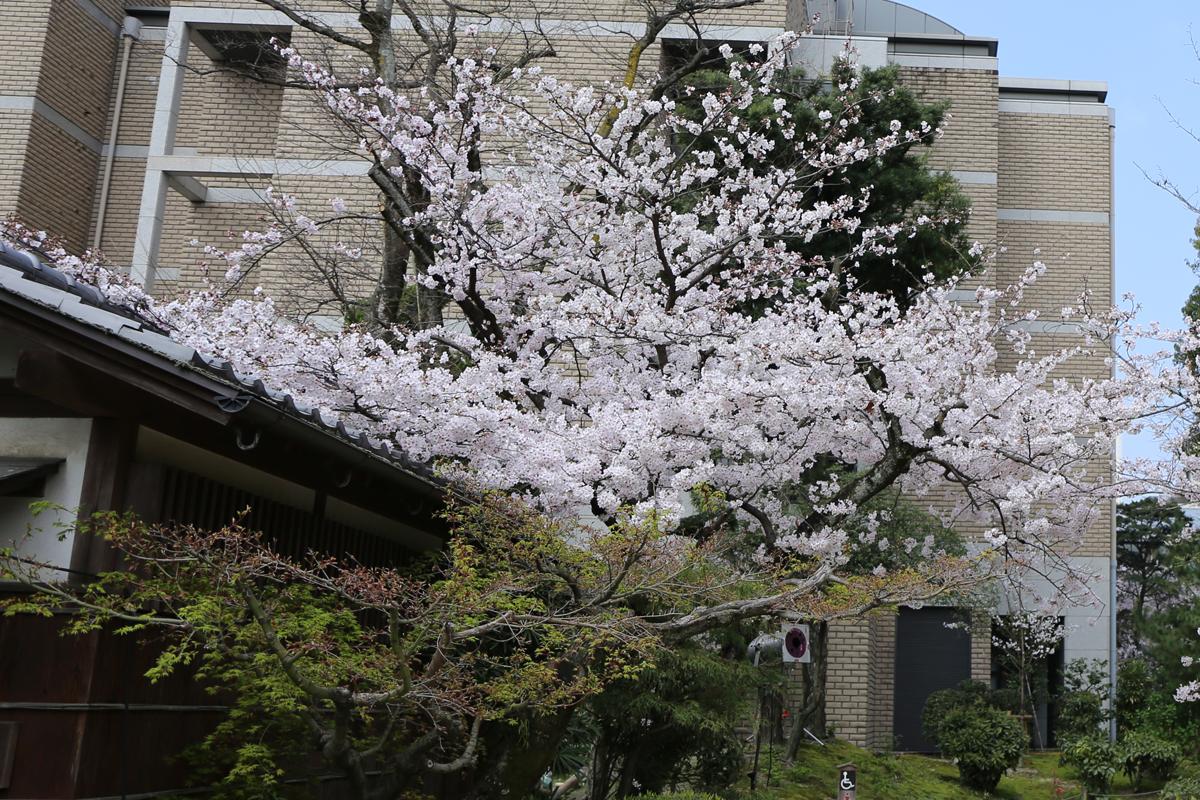 広島市で桜の開花宣言 昨年より4日遅く